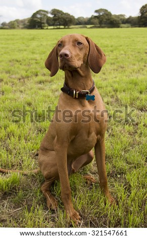 Pedigree Hungarian Vizsla adult dog sits in a green grassy field (shallow depth of field, focus central) - stock photo