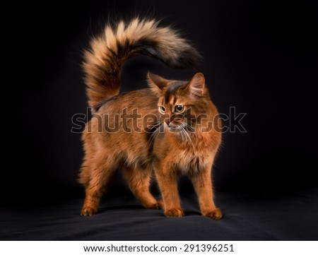 Pedigree orange Somali cat photographed indoors in studio on black background. - stock photo