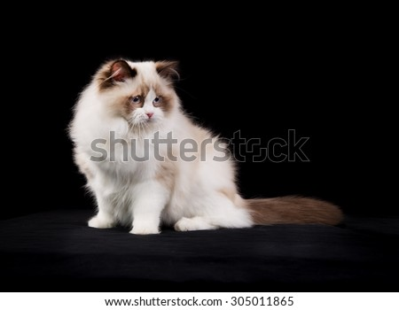 Pedigree Ragdoll cat photographed indoors in studio on black background.