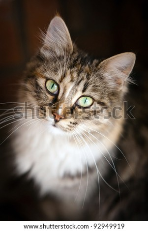 pedigreed tabby with green eyes looking intently - stock photo