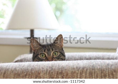 Peeking Cat - stock photo