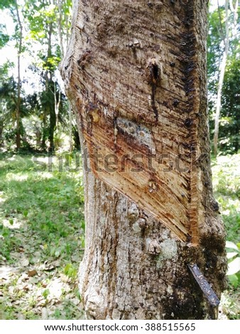 Peel the rubber trees from Thailand