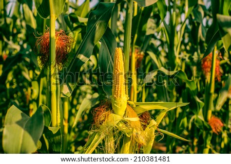 Peeled corn on a field with many crops - stock photo