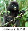 Peeping Monkey - stock photo
