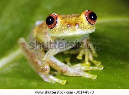 Peeping rain frog (Pristimantis lachrimosus) in the Peruvian Amazon - stock photo