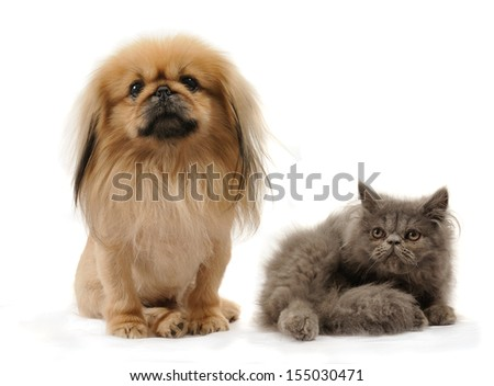 Pekingese dog and persian kitten in studio, isolated on white background , - stock photo