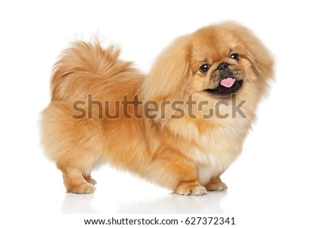 Pekingese dog in stand on a white background