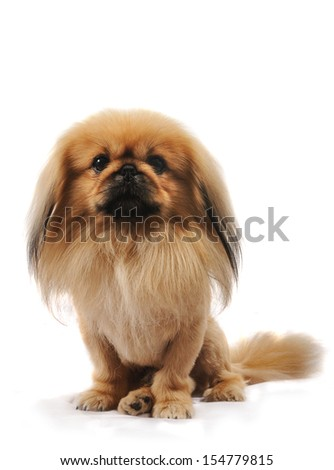 Pekingese dog like a lion, in studio, isolated on white background