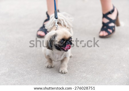 Pekingese dog walking next his owner feet on asphalt background   - stock photo