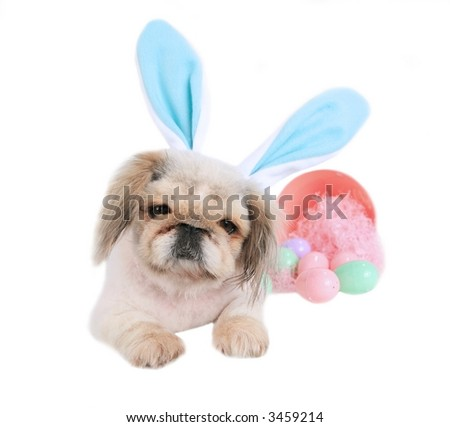 Pekingese Dog Wearing Easter Bunny Ears isolated on white