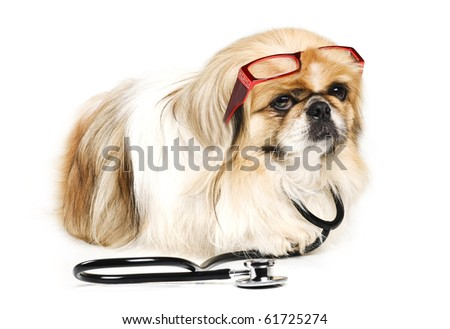 Pekingese dog with a doctor's stethoscope and red reading glasses on a white background with space for text