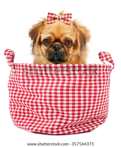 Pekingese puppy dog with hair bow in plaid sack