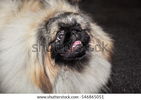 Pekingese (the Lion-Dog, Pekingese Lion-Dog, Pelchie Dog, Peke) is an ancient breed of toy dog, originating in China. They are called Lion-Dogs due to their resemblance to Chinese guardian lions.