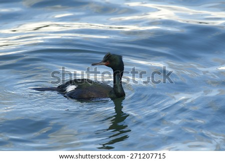 Pelagic Cormorant in Yaquina Bay in Newport, Oregon. - stock photo