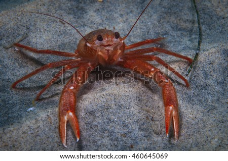 Pelagic Crab