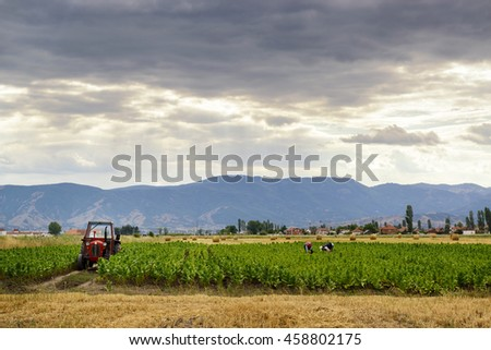 Pelagonia valley, Macedonia  July 2016: farmers harvesting tobacco. This region of Macedonia is famous producer of best tobacco sorts.