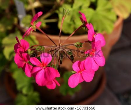 pelargonium - stock photo