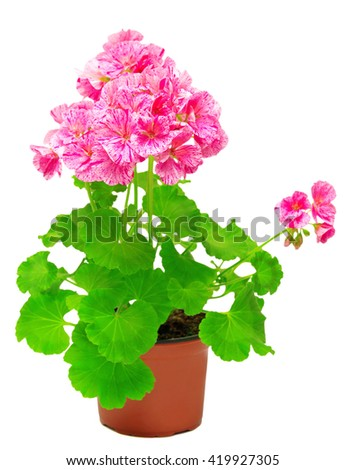 Pelargonium flower in pink flower pot isolated on white background. Flowers card