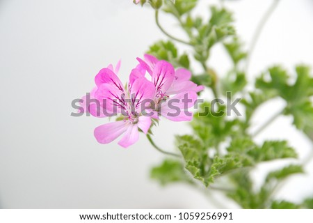 Pelargonium fragrance pink flowers on ceramic stock photo edit now pelargonium fragrance with pink flowers on ceramic pot rose scented scented leaved mightylinksfo