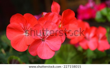 pelargonium grandiflorum Flower  - stock photo