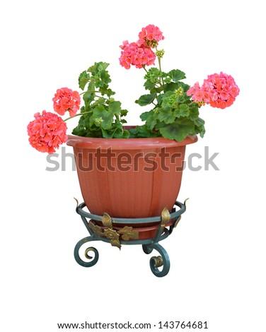 pelargonium in a pot flowerpot isolated on white background - stock photo