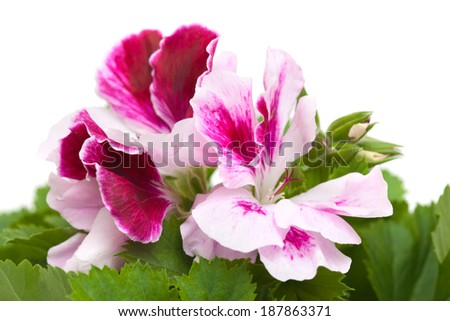 Pelargonium isolated on white - stock photo