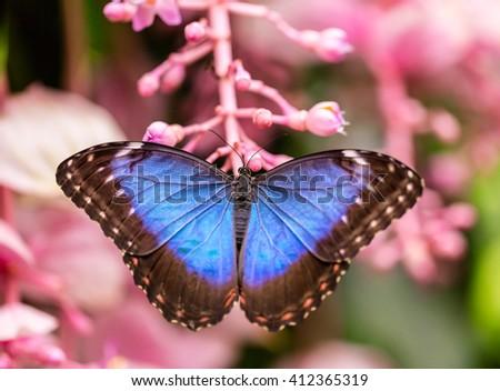 Peleides Blue Morpho on flower blossom - stock photo