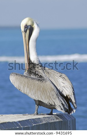 Pelican - stock photo