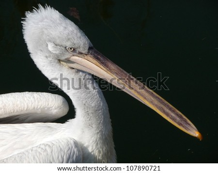 Pelican A pelican with ist long and powerful beak. - stock photo