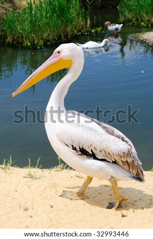 Pelican and a pond - stock photo