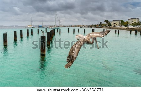 Pelican and tern Views around Bonaire a small island in the Caribbean - stock photo