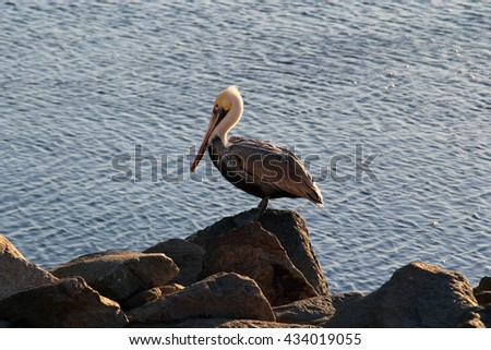 Pelican at the rocks