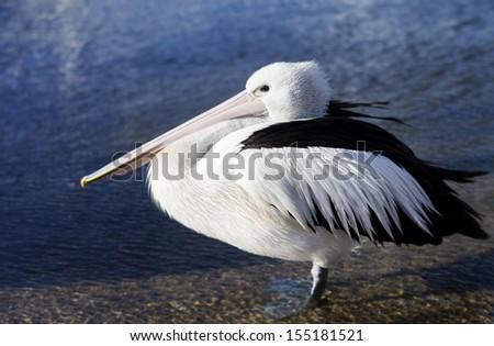 Pelican bird standing in water - stock photo