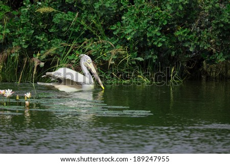 Pelican bird swimming in the water - stock photo