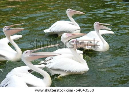pelican birds swim in lake - stock photo