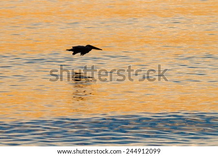 Pelican flies over sunset waters of Englewood Beach, Florida - stock photo