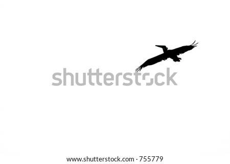 Pelican Flying. - stock photo