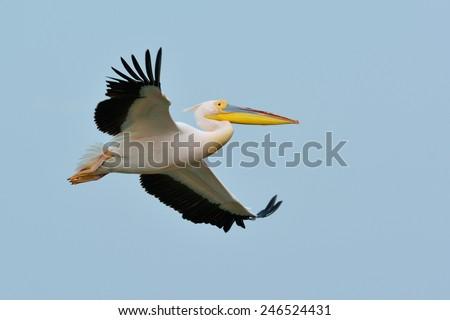pelican flying in natural habitat (pelecanus onocrotalus) - stock photo
