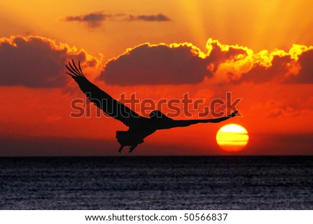 Pelican flying in sunset - stock photo