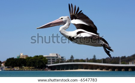 Pelican flying over Forster - stock photo
