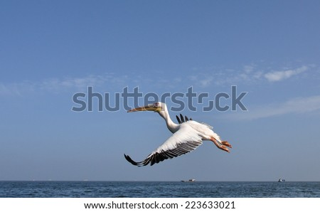 Pelican in flight against blue of the Skeleton Coast, Namibia