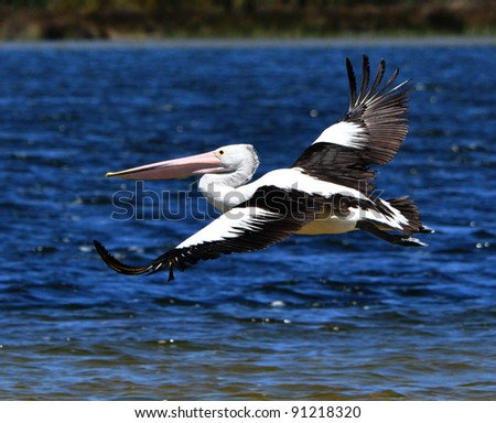 Pelican in Flight over Water.