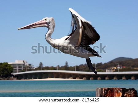 Pelican in motion - stock photo
