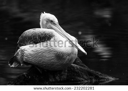 pelican in the black and white - stock photo