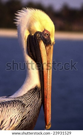 Pelican in the sunset - stock photo