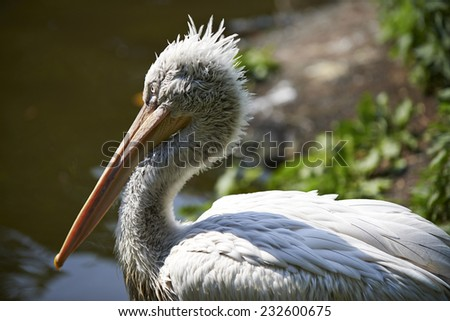 Pelican in the water on a sunny day - stock photo