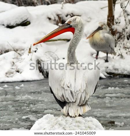 pelican in winter - stock photo