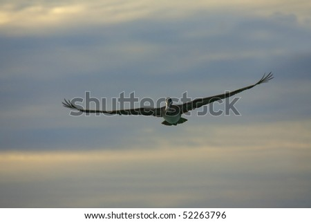 Pelican is  flying over  Caribbean sea at sunset - stock photo