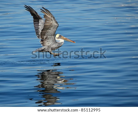 Pelican lading on the water - stock photo