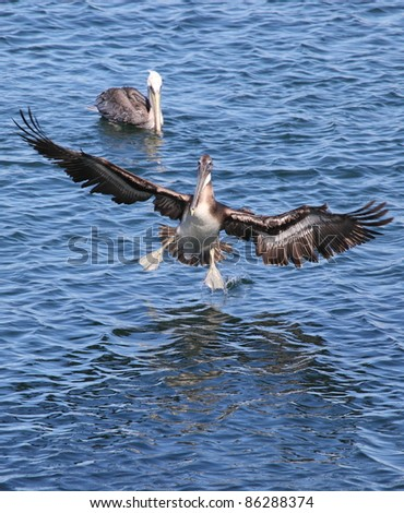 Pelican landing on the water with another pelican in background - stock photo